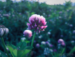 Clover by volker03