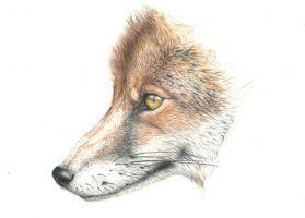 Fox (Reupload) by Tiefenbacher