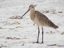 Marbled Godwit Standing by Parrotmecium