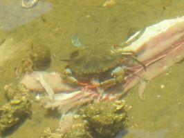 Blue Crab and Long-Clawed Hermit Crab 1 by AxelHonoo