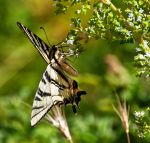 butterfly by Arth72