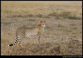 CHEETAH ON THE HILL by dogansoysal