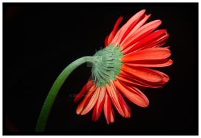 Backside Of Flower 02 by dcl-photo