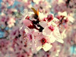 plum flowers 1 by Meisnome