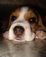 Puppy Beagle 02 by noly013