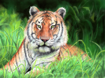Tiger in the grass by Aspi-Galou
