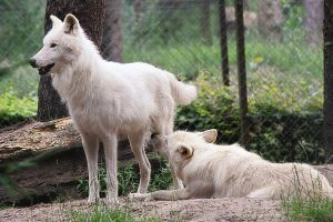 .:White Wolves:. by WhiteSpiritWolf