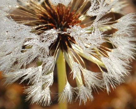 Wet Dandelion by MaryKatherineS