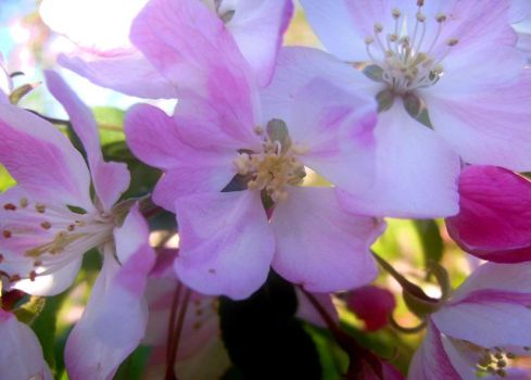 pink blossoms by austrianna