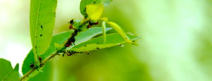Fire Ants tending to their Aphids by serbus