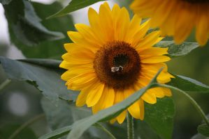 sunflower with visitor by ingeline-art