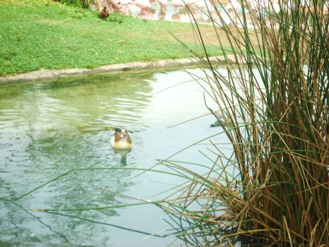 Its a duck.....in the water by Sky-Thief