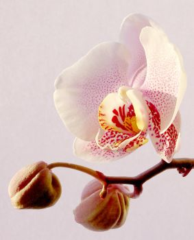 Orchid by fj86