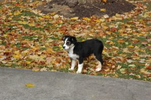 Australian Shepherd by seeknsnazzy
