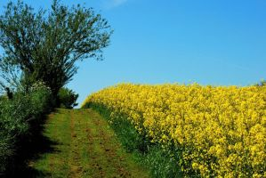 Walking along the rape field by jchanders