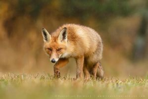 Stealthy Fox by thrumyeye