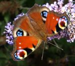 Colourful Butterfly02 by abelamario