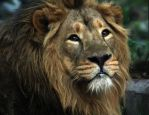 Zoo lion portrait by TomiTapio