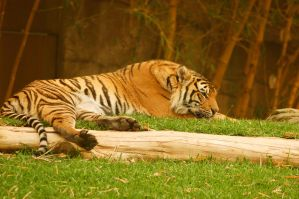 28 Tiger lying down by Chunga-Stock