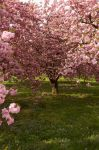 Cherry Blossoms Stock 3 by FairieGoodMother