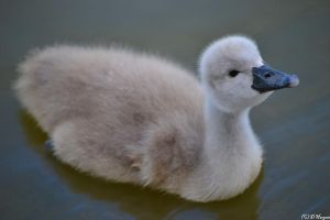 Cygnet by lfcmadness