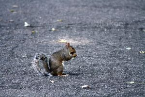 squirrel. by bflakee