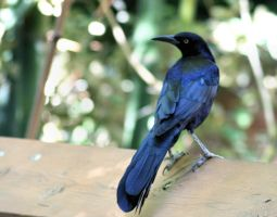great tailed grackle by fatherofanartist
