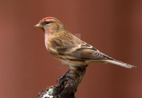 Handsome dude - Lesser Redpoll by Jamie-MacArthur
