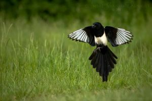 Magpie In Flight II by darkcalypso