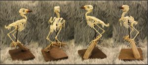 Articulated Greater Coucal Skeleton by BluesCuriosities