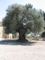 olivetree by mimose-stock