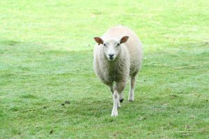 Cornwall - Walking Sheep by Kaptured-by-Kirsty