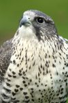 Gyrfalcon by lost-nomad07