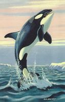 Other Killer Whale by Chickaroo16