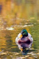 Mallard Watercolours by FreyaPhotos