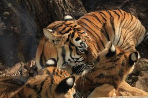 Tigers by Cey-J