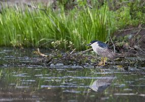 Black-Crowned Night-Heron by Dani-Lefrancois