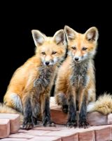 Fox cubs by ditney