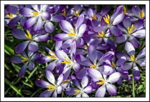 Pattern with crocuses by Phototubby