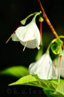 White Bells by Zephania