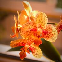 Orchid 4 by rici66