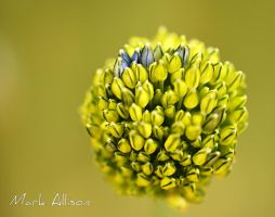 Alium by Mark-Allison