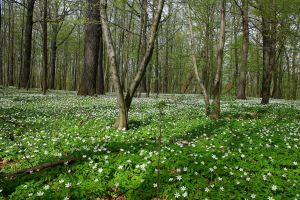 Wood anemone by Criosdan