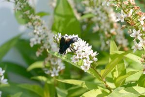 Giant Black Wasp, Sipping Nectar 4 by Miss-Tbones