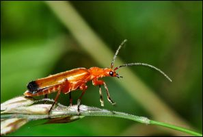 Orange Soldier Beetle by Somebody-Somewhere