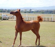 GE Arab filly chestnut stand walk head up side by Chunga-Stock