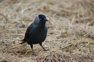 another jackdaw by Tapire