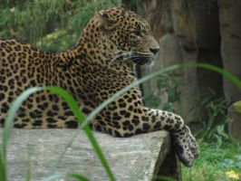 Sri Lanka Leopard 01 by animalphotos