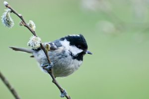 Coal Tit 1 by fremlin