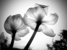 Translucent Tulips by euancraine